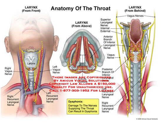 Anatomy of the pharynx and larynx