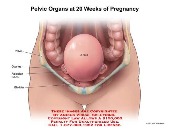 Baby sex organs at 18 weeks