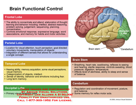 0601504x Brain Functional Control Anatomy Exhibits
