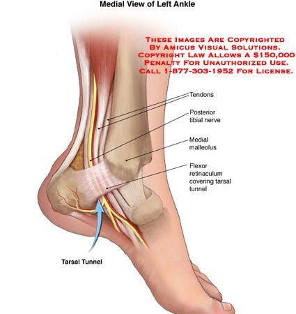 ankle – Anatomy Exhibits