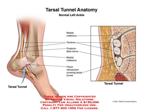 0700701c Tarsal Tunnel Anatomy Anatomy Exhibits