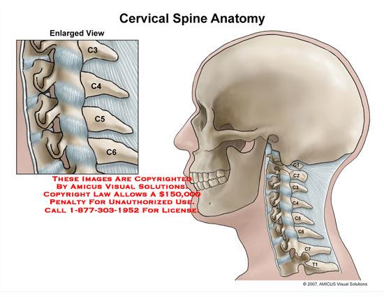 spine – Anatomy Exhibits