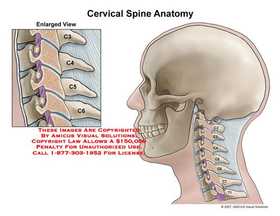 0701702c Cervical Spine Anatomy Anatomy Exhibits