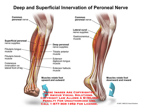 0703001x Deep And Superficial Innervation Of Peroneal Nerve