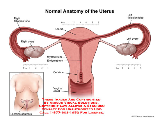 07031_01X) Normal Anatomy of the Uterus – Anatomy Exhibits