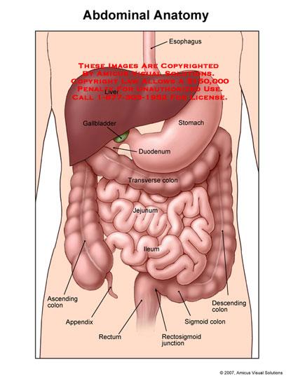 07067_01X) Abdominal Anatomy – Anatomy Exhibits