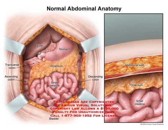 0806401x Normal Abdominal Anatomy Anatomy Exhibits
