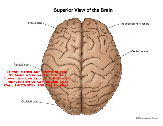 08098_01X) Superior View of the Brain – Anatomy Exhibits