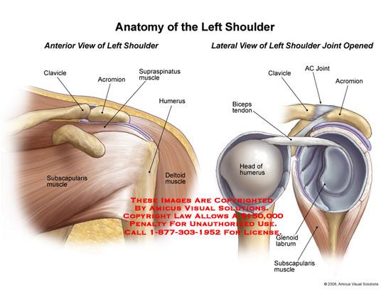 0811501x Anatomy Of The Left Shoulder Anatomy Exhibits
