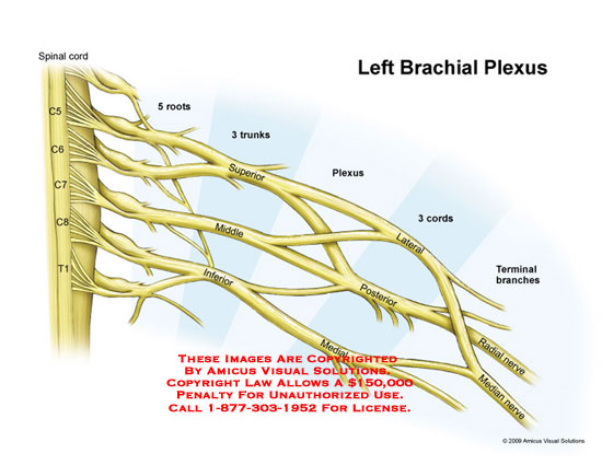 Brachial plexus cadaver labeled