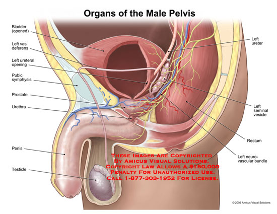 0901501x Organs Of The Male Pelvis Anatomy Exhibits