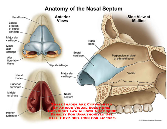 09132_01X) Anatomy of the Nasal Septum – Anatomy Exhibits