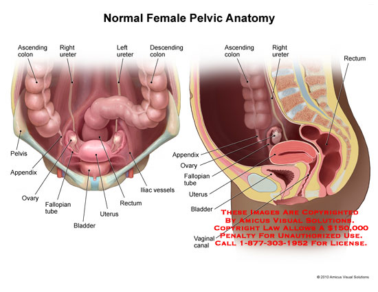 pelvic – Anatomy Exhibits