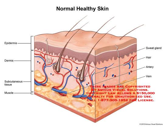 Skin Anatomy Exhibits