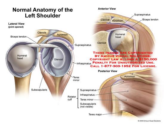 1004201xv2 Normal Anatomy Of The Left Shoulder Anatomy Exhibits
