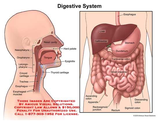 10116_01X) Digestive System – Anatomy Exhibits
