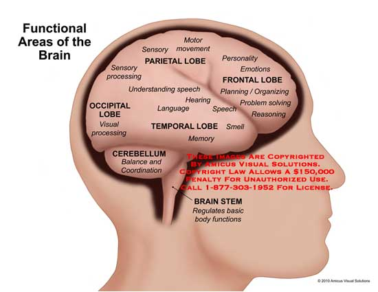 1012004x Functional Areas Of The Brain Anatomy Exhibits