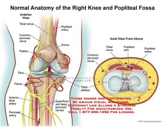 Knee anatomy exhibits 1105301x normal anatomy of the right knee and popliteal fossa ccuart Image collections