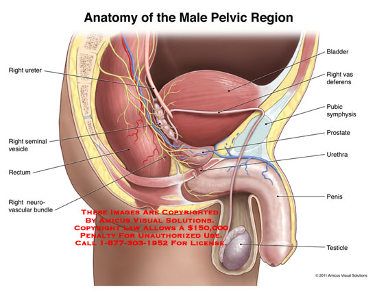 11054_01A) Anatomy of the Male Pelvic Region – Anatomy Exhibits