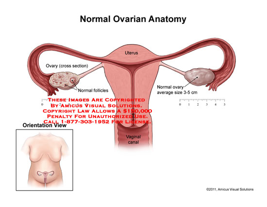Uterus anatomy exhibits 1106401a normal ovarian anatomy ccuart Images