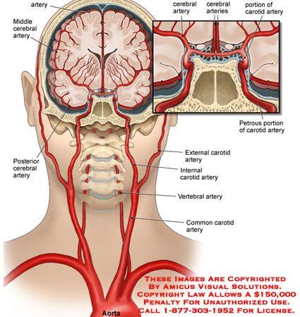 Cerebral Anatomy Exhibits