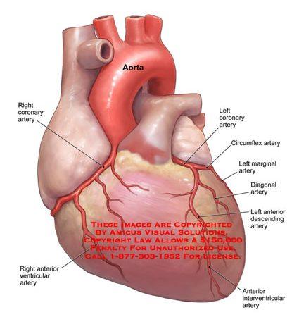 Heart Anatomy Exhibits