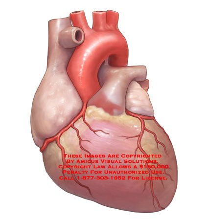 Heart Anatomy Exhibits