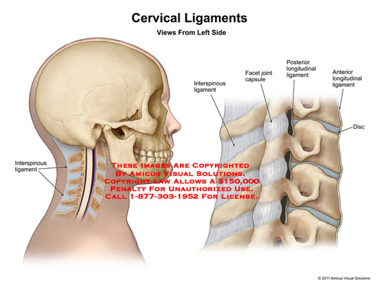 1113002x Cervical Ligaments Anatomy Exhibits