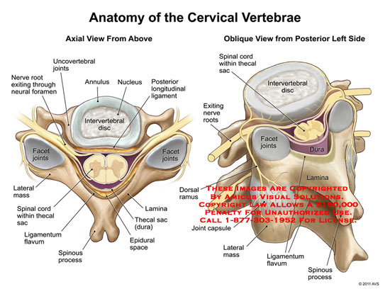 11138_15b) anatomy of the cervical vertebrae – anatomy exhibits, Cephalic Vein