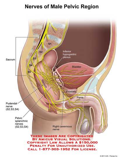 11170_03B) Nerves of Male Pelvic Region – Anatomy Exhibits