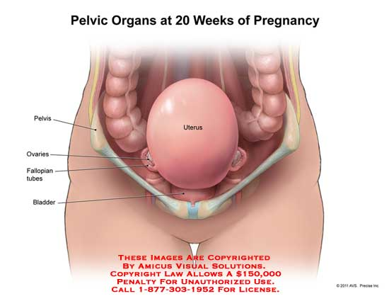 1119001x Pelvic Organs At 20 Weeks Of Pregnancy Anatomy Exhibits