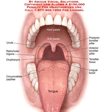 tongue – Anatomy Exhibits