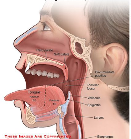 throat – Anatomy Exhibits