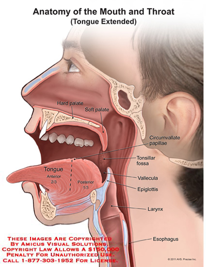 Anatomy of throat and tongue