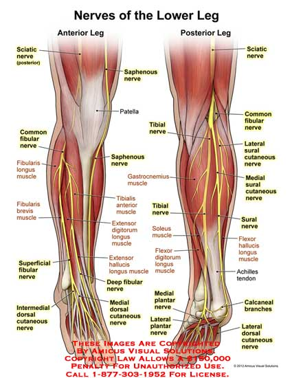 1122211x Nerves Of The Lower Leg Anatomy Exhibits