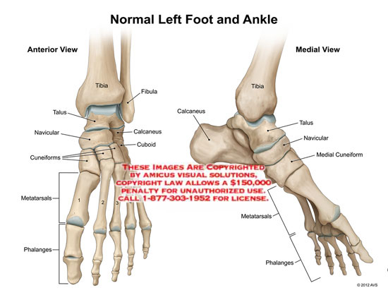 1211409x normal left foot and ankle anatomy exhibits 1211409x normal left foot and ankle ccuart