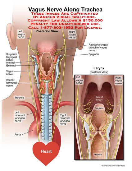 12127_01X) Vagus Nerve Along Trachea – Anatomy Exhibits