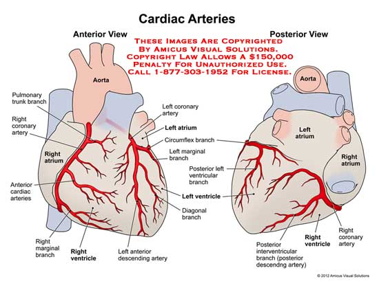 1218103x Cardiac Arteries Anatomy Exhibits