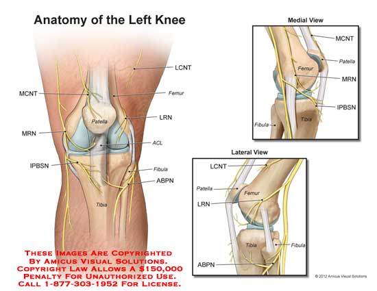 1218801x Anatomy Of The Left Knee Anatomy Exhibits