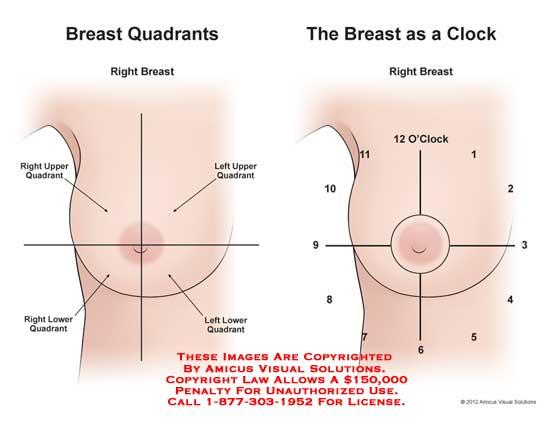 12199_01X) Breast Anatomy – Anatomy Exhibits