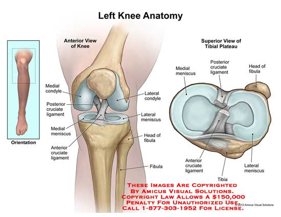 knee  u2013 anatomy exhibits