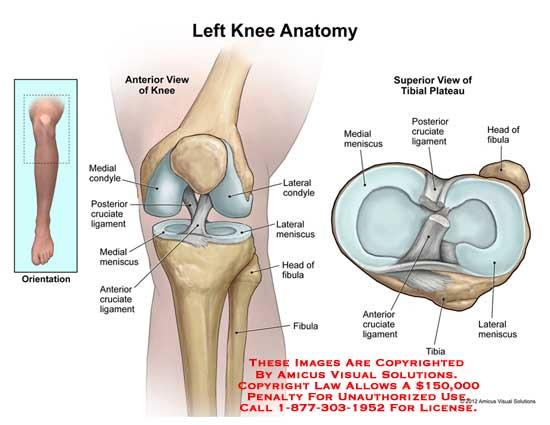 knee – Anatomy Exhibits