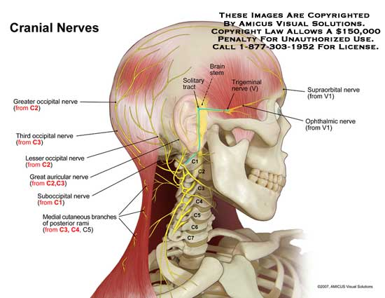 Anatomy Exhibits – Page 42 – Demonstrative Medical ...