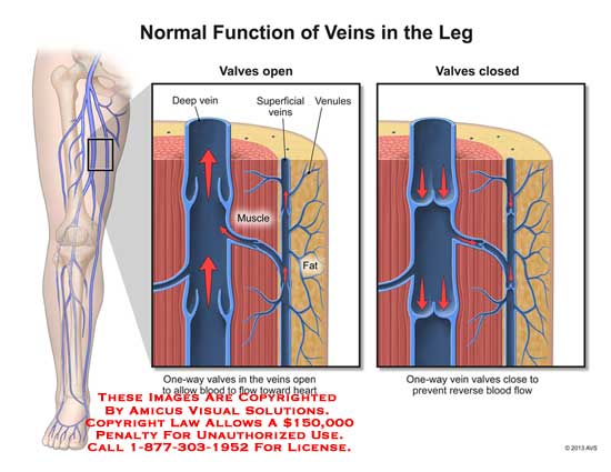1307704x Normal Function Of Veins In The Leg Anatomy Exhibits