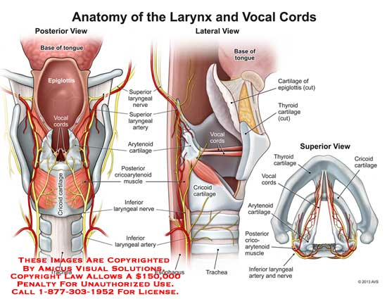 13078 01x2 Anatomy Of The Larynx And Vocal Cords Anatomy Exhibits
