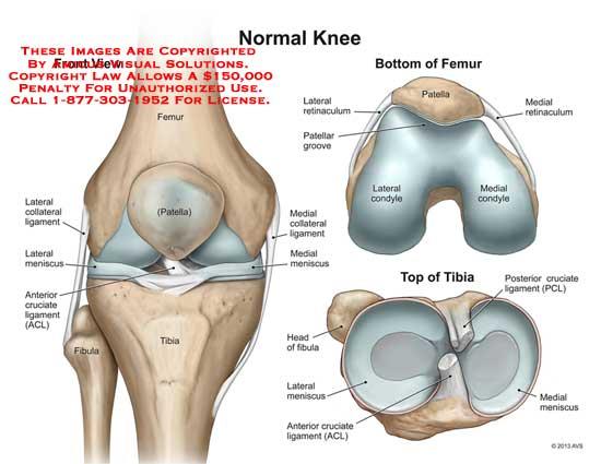 13083_01X) Normal Knee – Anatomy Exhibits