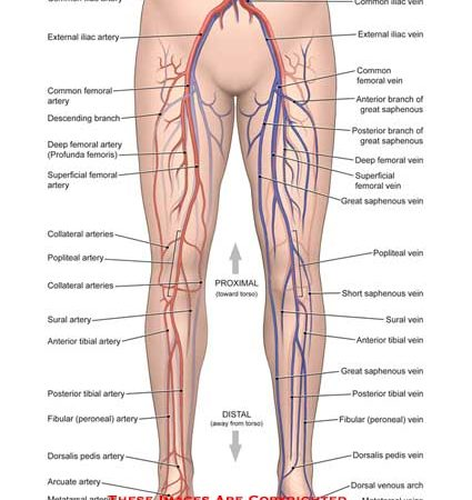 Leg Anatomy Exhibits