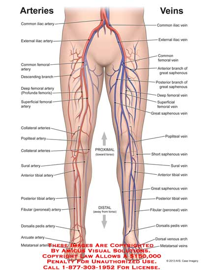 13101_01X) Arteries and Veins – Anatomy Exhibits