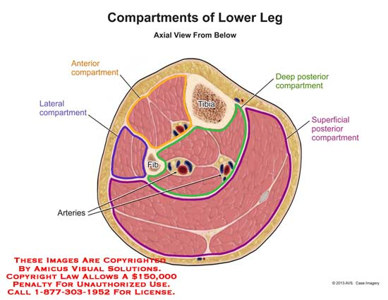 1310104a Compartments Of Lower Leg Anatomy Exhibits