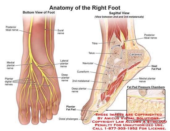 13145_01X) Anatomy of the Right Foot – Anatomy Exhibits